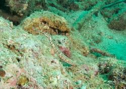 BD-080405-Bunaken-4051227-Corythoichthys-schultzi.-Herald.-1953-[Schultz's-pipefish].jpg
